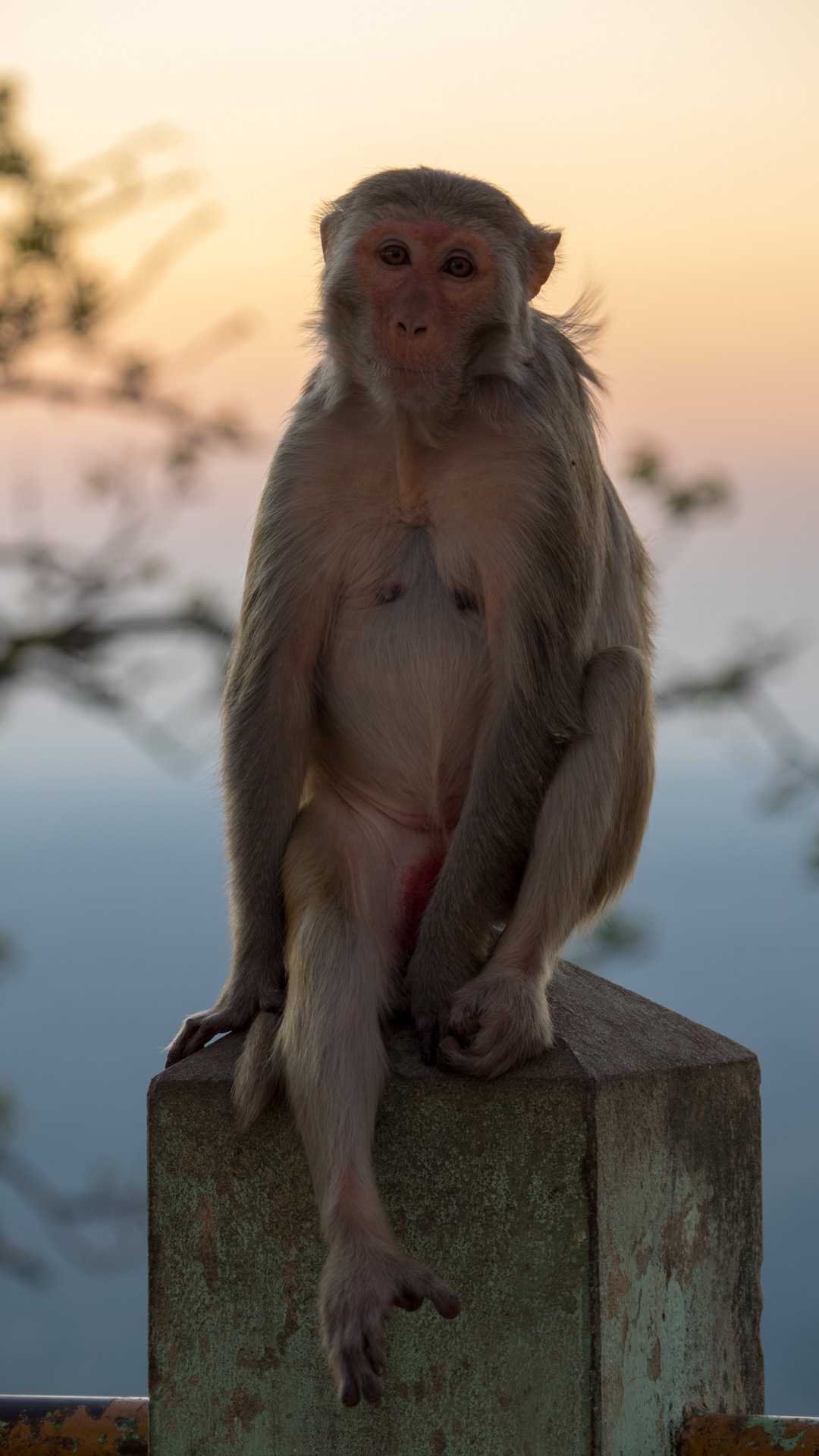 Contemplative Monkey at Mount Popp